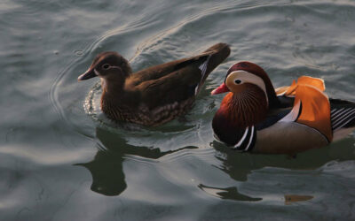 Mandarin Duck Feng Shui Significance and Placement