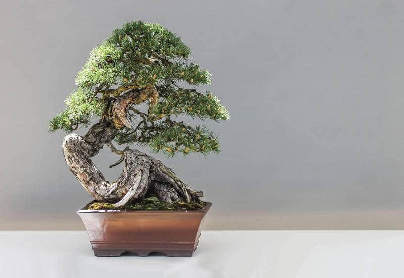Bonsai Feng Shui Considered Good Or Bad Feng Shui Beginner