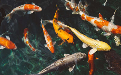 Koi Fish Feng Shui Use and Significance
