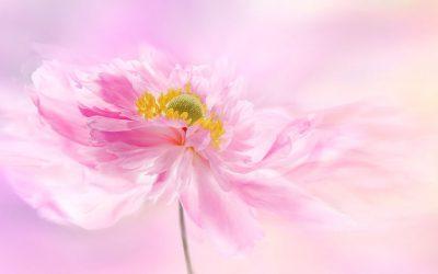 Peony Feng Shui For Peach Blossom Luck