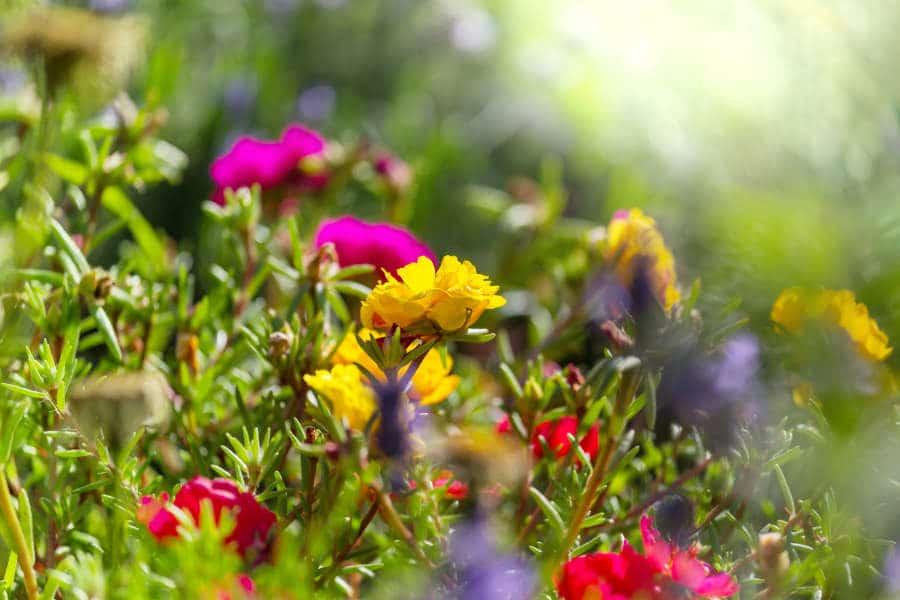 Feng Shui Flowers To Attract Good Luck Feng Shui Beginner