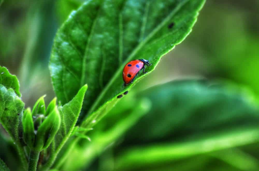 Ladybug Symbolism – Does Ladybug Bring Good Luck?